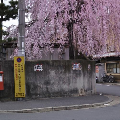 しだれ桜撮影中