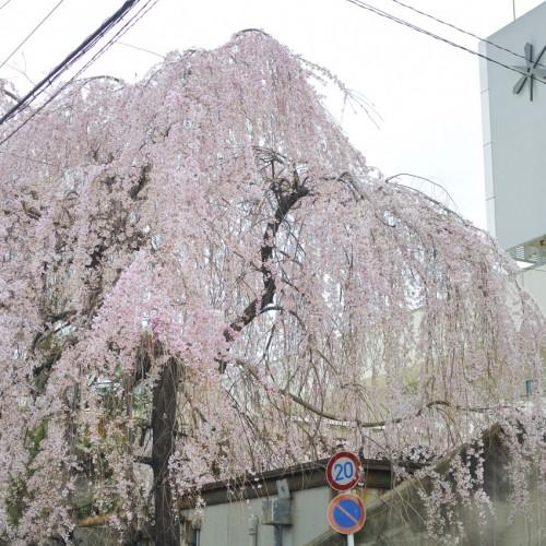 しだれ桜写真