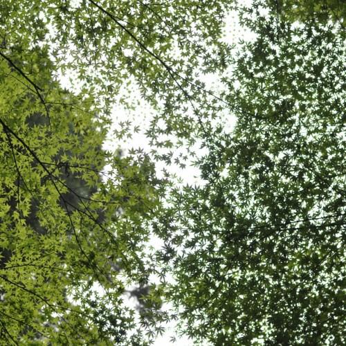 上を見上げると楓がちりばめられていた。