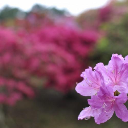 淡い紫のつつじの写真:笠間つつじ祭り