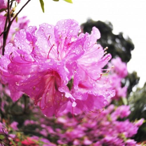 紫がかったピンクのつつじの写真:笠間つつじ祭り