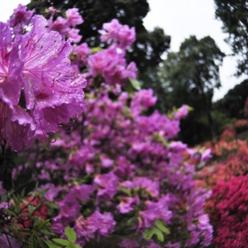 紫のつつじの写真:笠間つつじ祭り