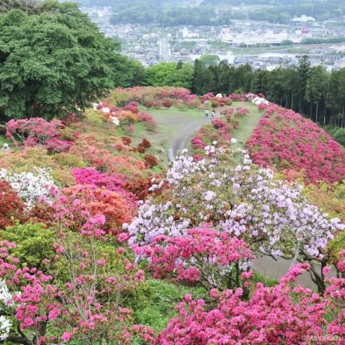 色とりどりのつつじの景色写真:笠間つつじ祭り