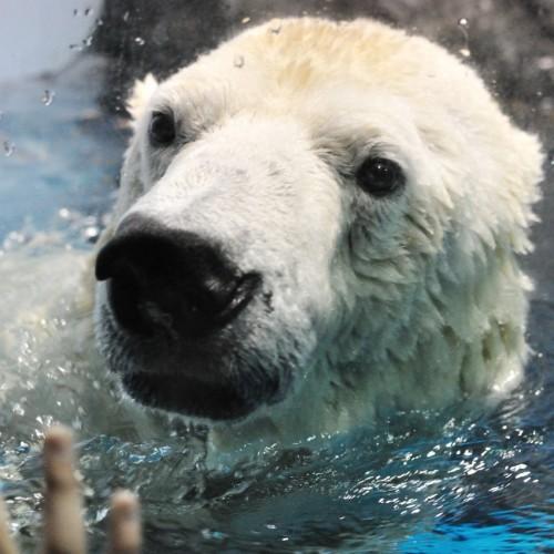 白熊(しろくま)