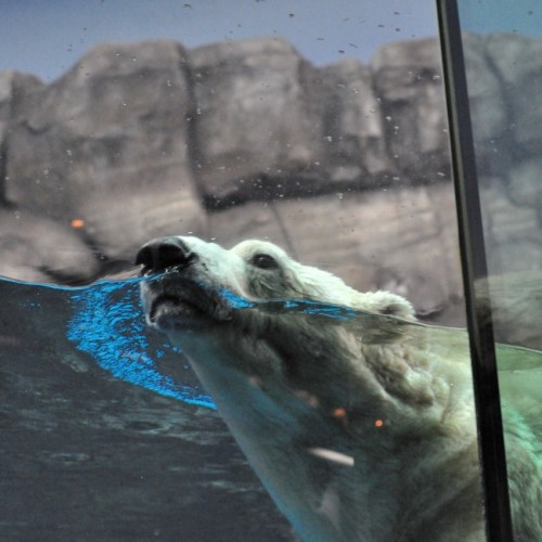 泳ぐシロクマ