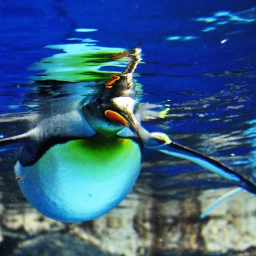 浮かぶペンギン