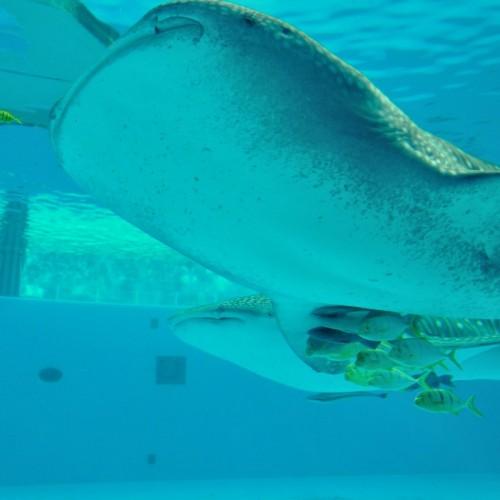 ジンベイザメが泳ぐ