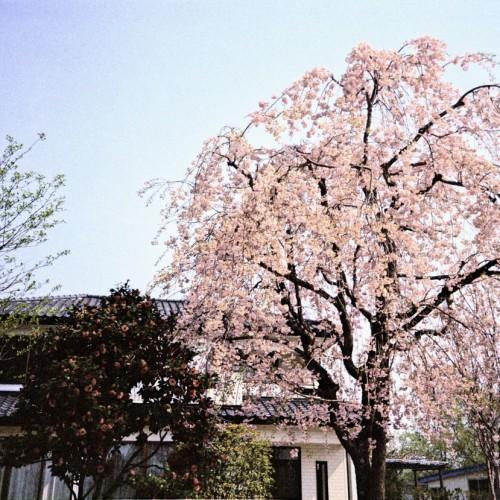 この時期、桜が満開