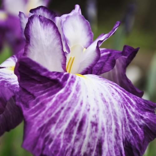 はなしょうぶ(紫&白)