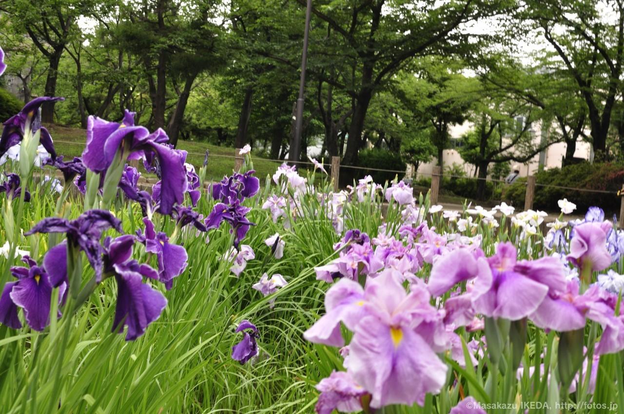 はなしょうぶ(紫&薄紫)