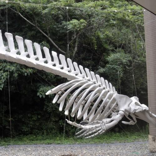 ツチクラゲの骨格標本