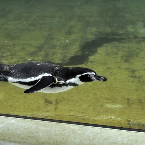ペンギン潜水中