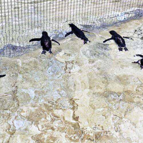 幼いペンギン