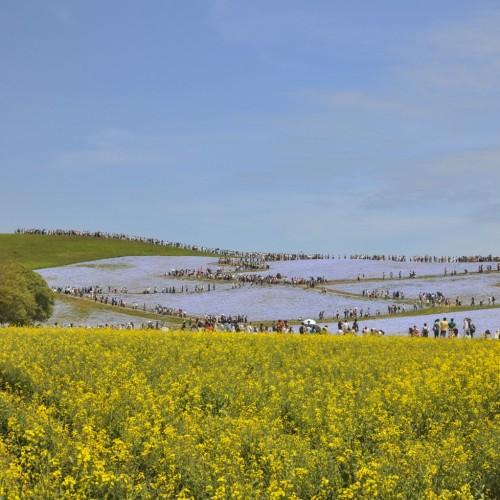 国立ひたち海浜公園 菜の花とネモフィラ