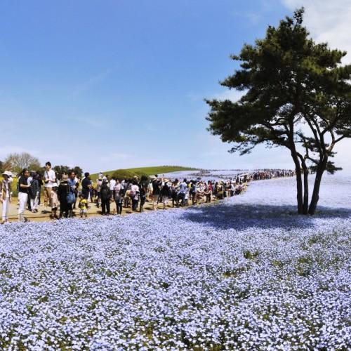 国立ひたち海浜公園みはらしの丘のネモフィラ フィッシュアイレンズ撮影
