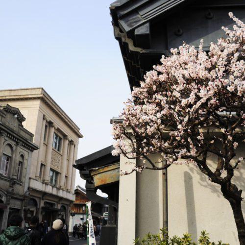 川越熊野神社の梅