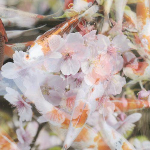 菓子屋横丁近くの桜と錦鯉(多重露光写真)