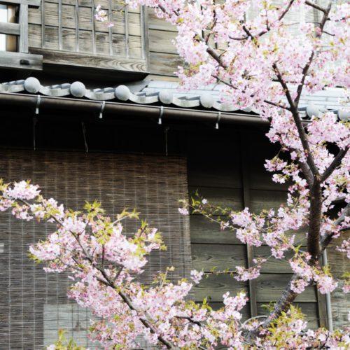 菓子屋横丁近くの桜
