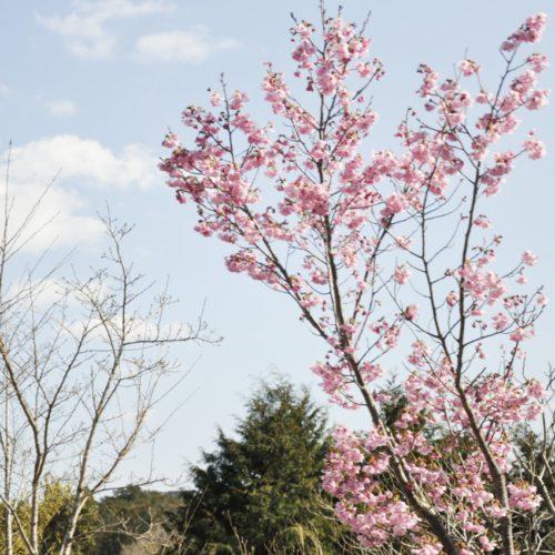 横山展望台へ向かう途中の桜